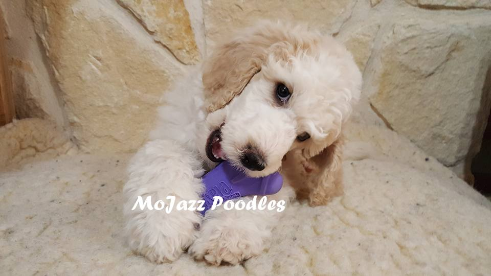 AKC Standard Poodle Puppies available near San Antonio, Texas